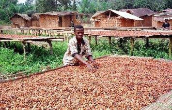 Cocoa farm in Ghana