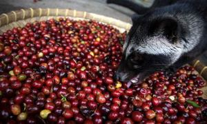 Civet eating coffee beans